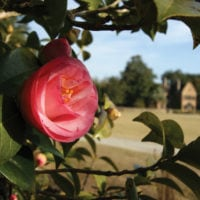 Experience Winter's Beauty: Camellia Walks Return to Middleton Place