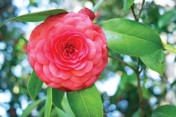Camellia Walks