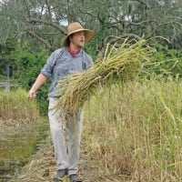 Rice Harvest at Middleton Place