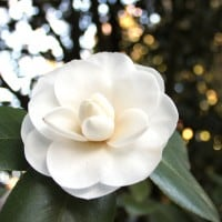 Middleton Place White Camellia